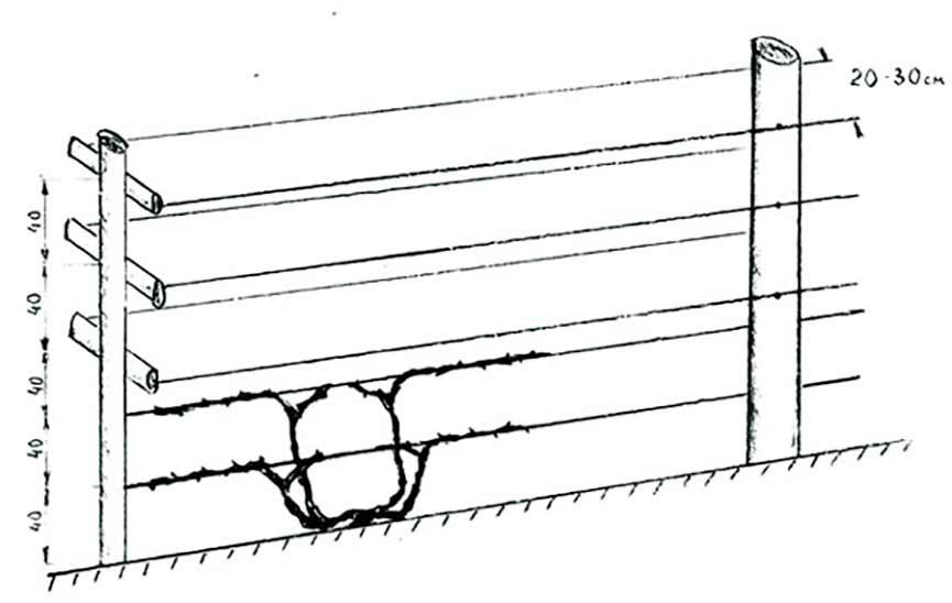 схема-однополостной-шпалеры-фото