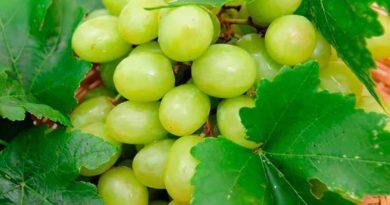 сорт-винограда-гарольд-фото