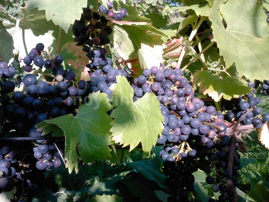 Виноград Регент фото