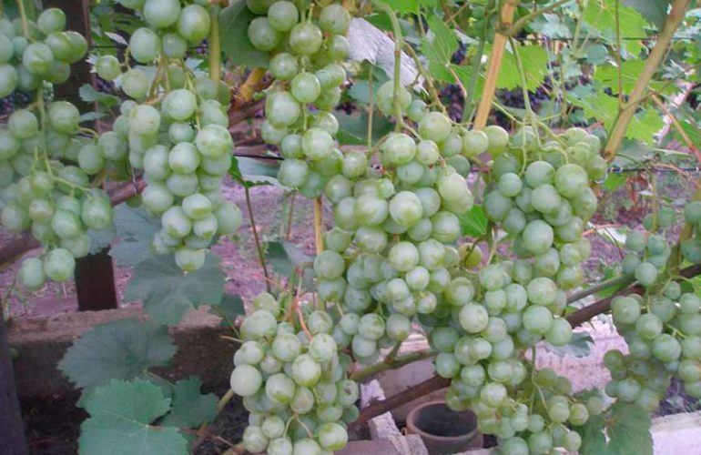 гроздь винограда Белое Чудо фото