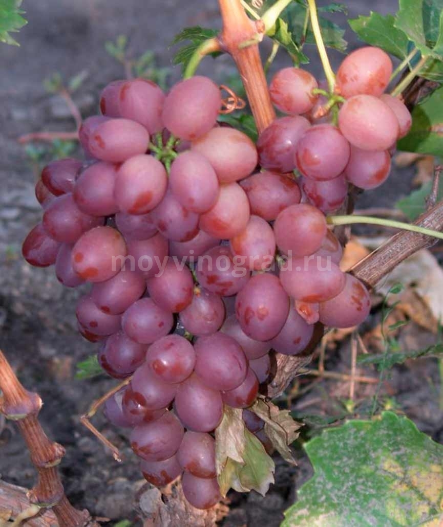 Сорт винограда Ливия фото