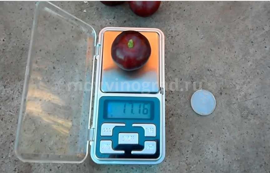 вес-типичной-ягоды-Рошфора-фото