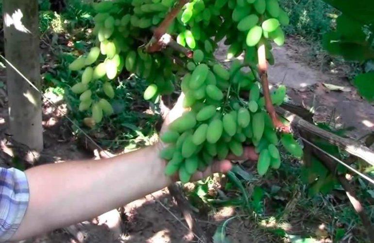 Груна винограда Тимур фото