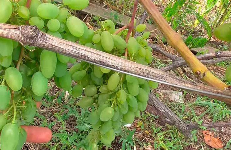 Незрелый виноград Тимур фото