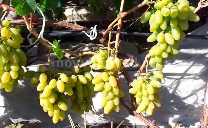Виноград сорта Тимур фото