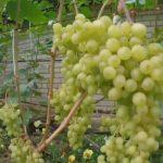 Виноград сорта Алешенькин фото