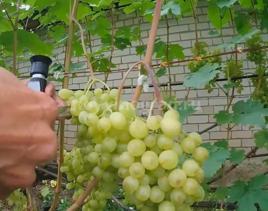 Ягоды винограда Алешенькин фото