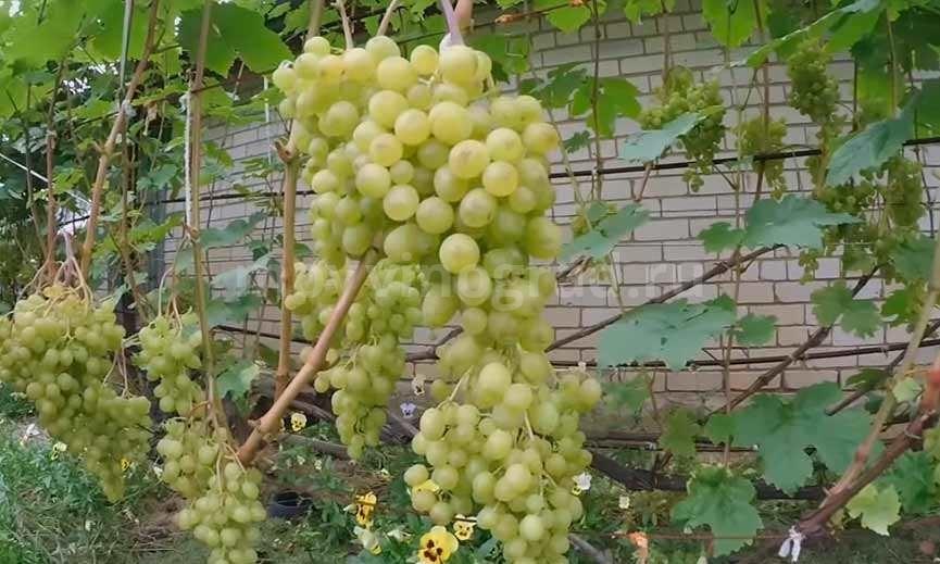 Красивая гроздь винограда Алешенькин фото