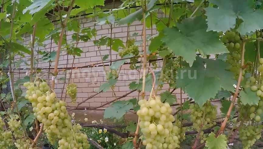 Сорт винограда Алешенькин фото
