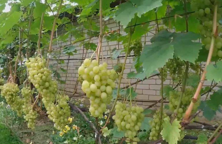 Грозди винограда Алешенькин фото