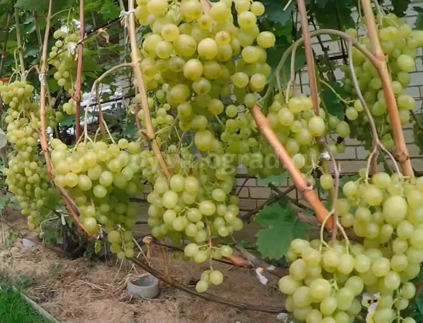 Плодоношение винограда Алешенькин фото