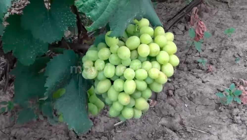Кисточка винограда Галахад фото