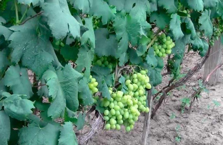 Урожайность сорта винограда Галахад фото