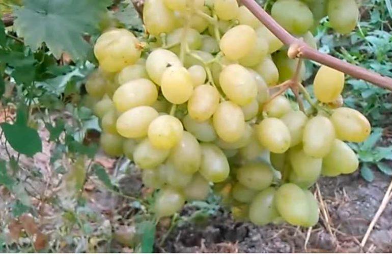 Гроздь винограда Галахад фото