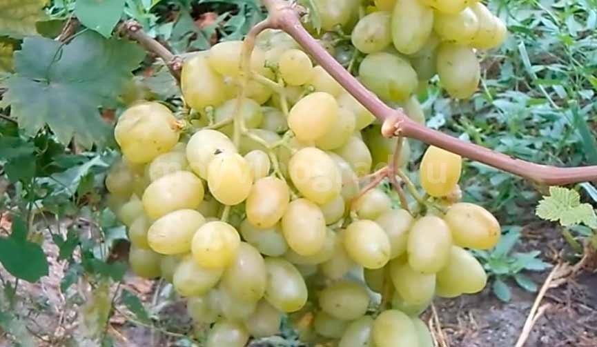 Галахад гибридный виноград фото