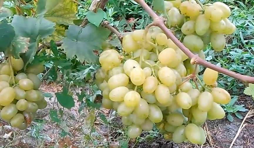 Ягоды винограда сорта Галахад фото