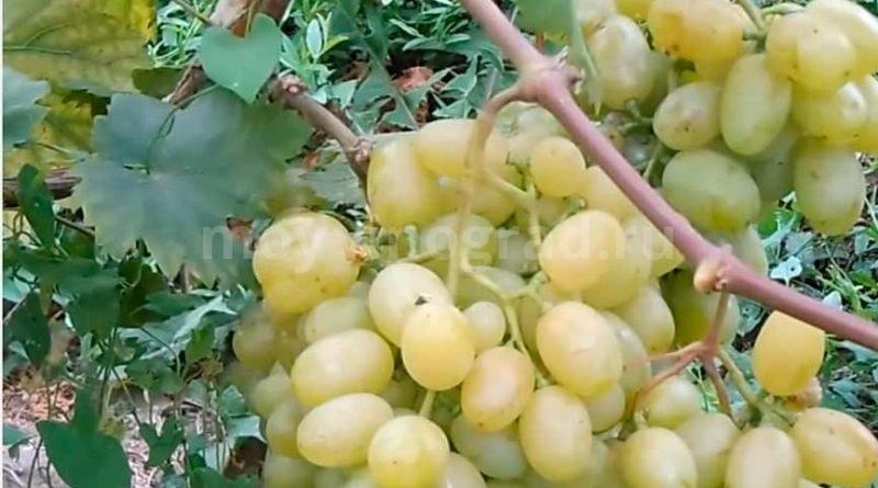 виноград сорта галахад фото