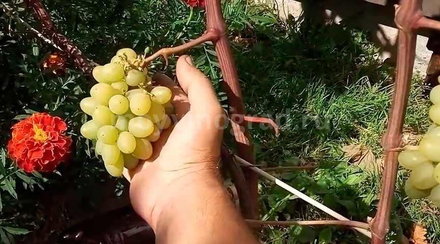 виноград-гарольд--первый-год-плодоношения-фото