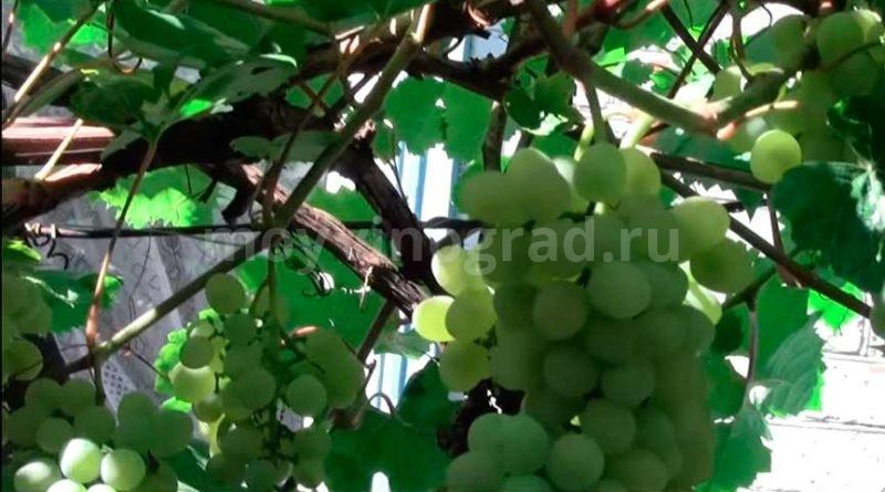 Сорт винограда Кристалл фото