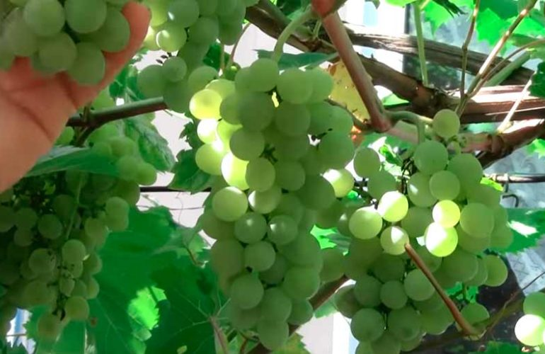 Кристалл сорт винограда фото