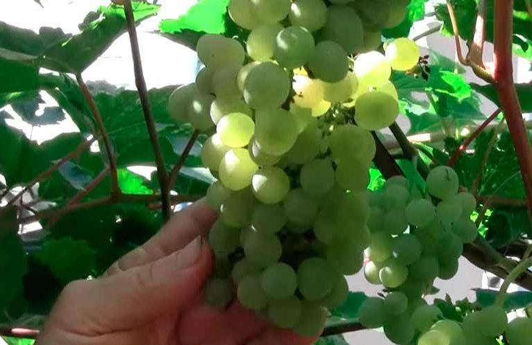 Красивая гроздь винограда Кристалл фото