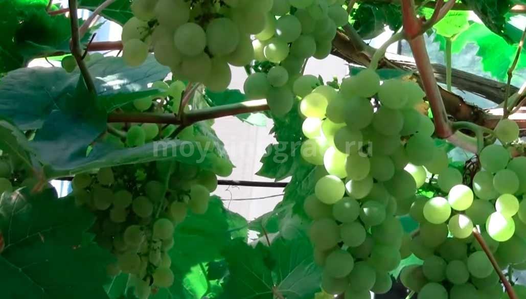 Красивая гроздь винограда сорта Кристалл фото