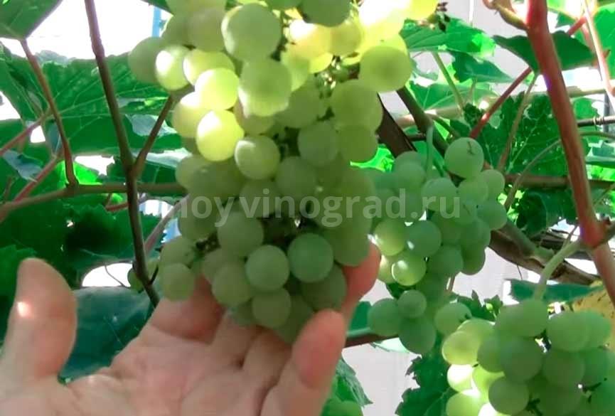 Гроздочка винограда Кристалл фото