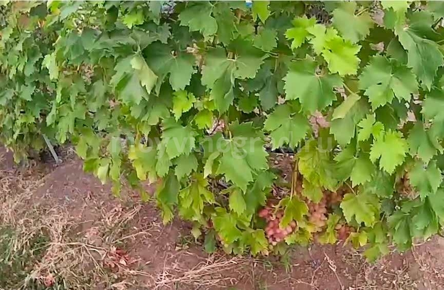 листья винограда Ливия фото