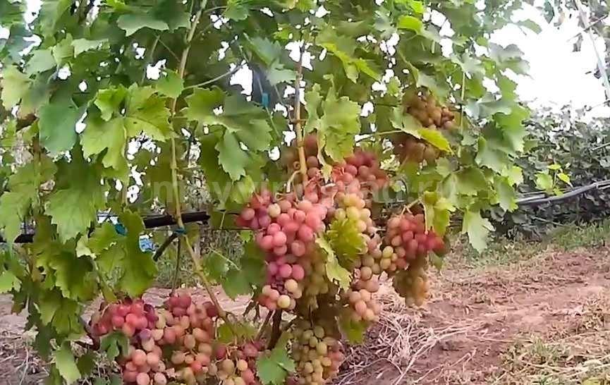 Гроздь винограда Ливия фото