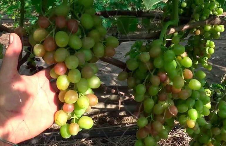 Зеленая гроздь винограда Ливия фото
