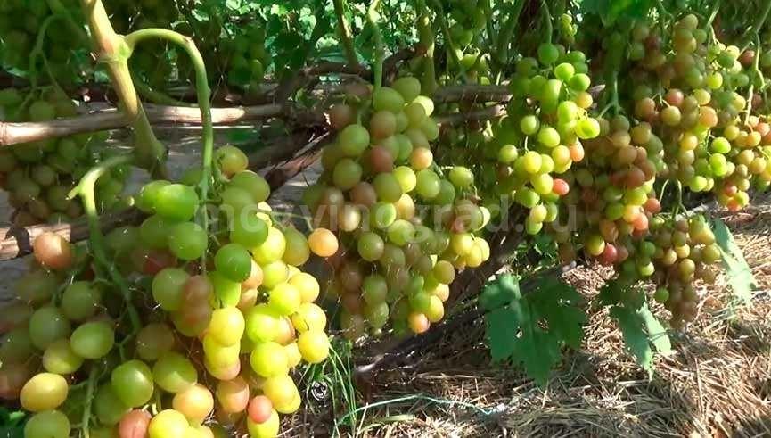 Виноград Ливия недозревший фото