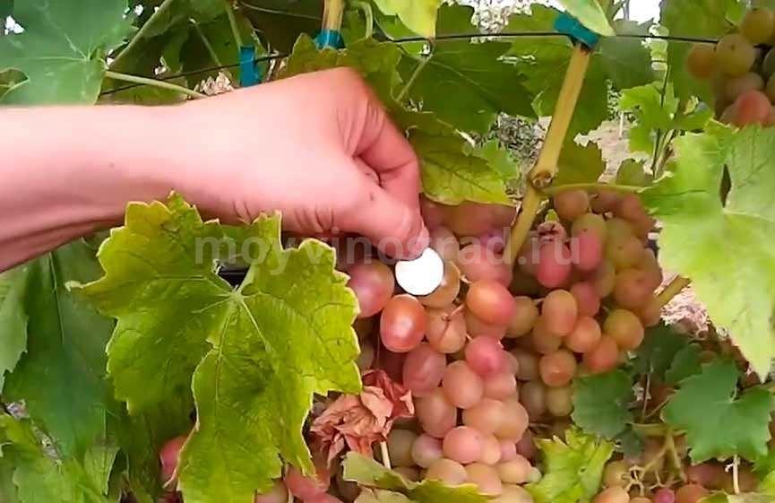 Виноград Ливия в сравнении с монетой фото