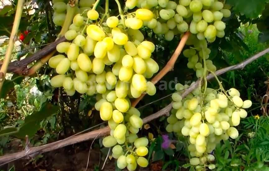 Виноград флора на участке фото