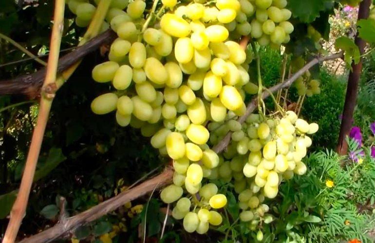 Большая кисть винограда Флора фото