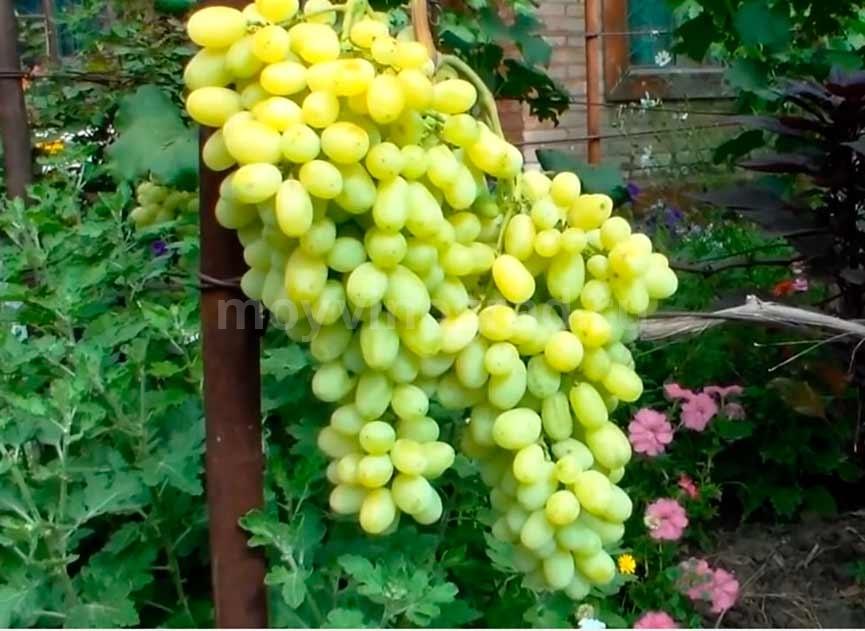 Виноград Лора характеристика фото