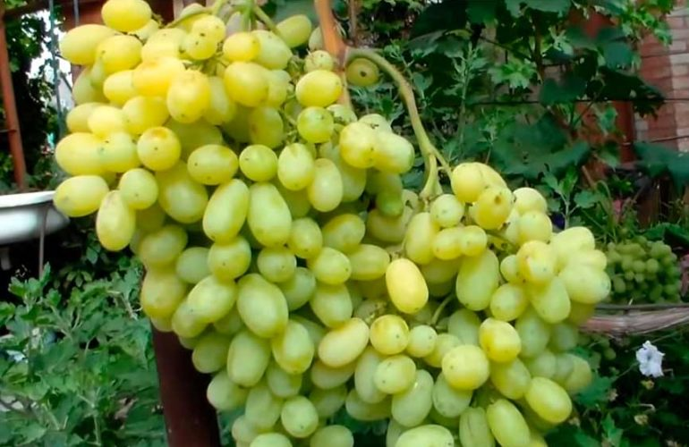 Кисть винограда Флора фото