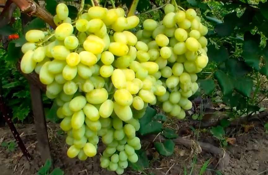 Кисть винограда Лора фото