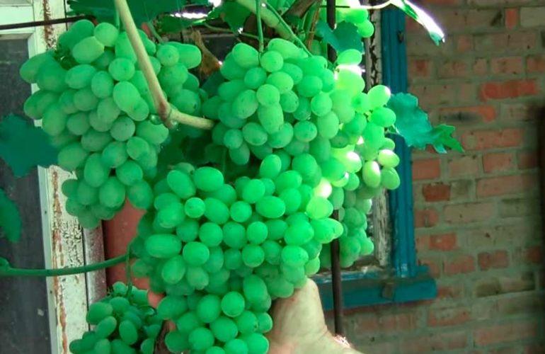 Виноград Флора фото