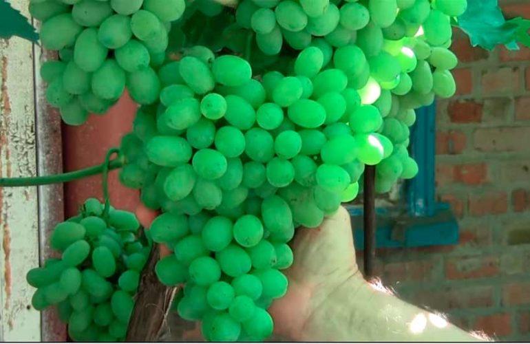 Груна винограда Лора фото