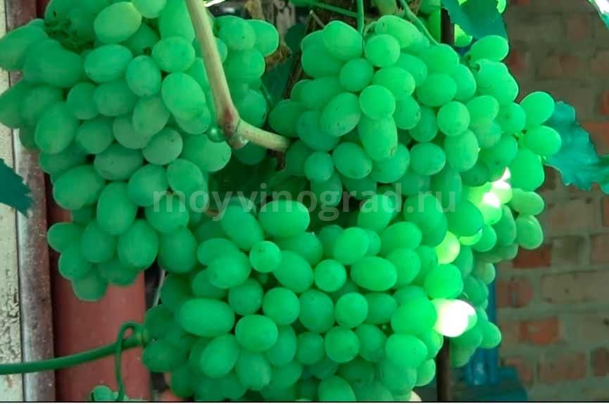 Гроздь винограда Лора фото
