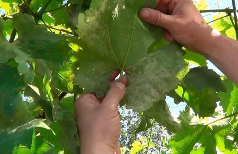 милдью винограда с внутренней стороны фото
