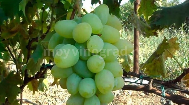 Сорт винограда Монарх фото