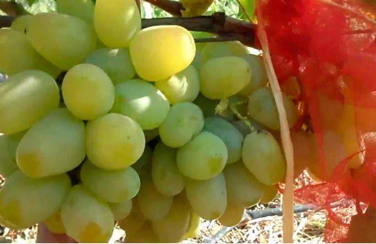 Красивый виноград Монарх фото