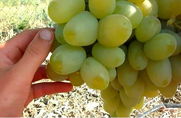 Виноград Монарх в сравнении с пальцем фото