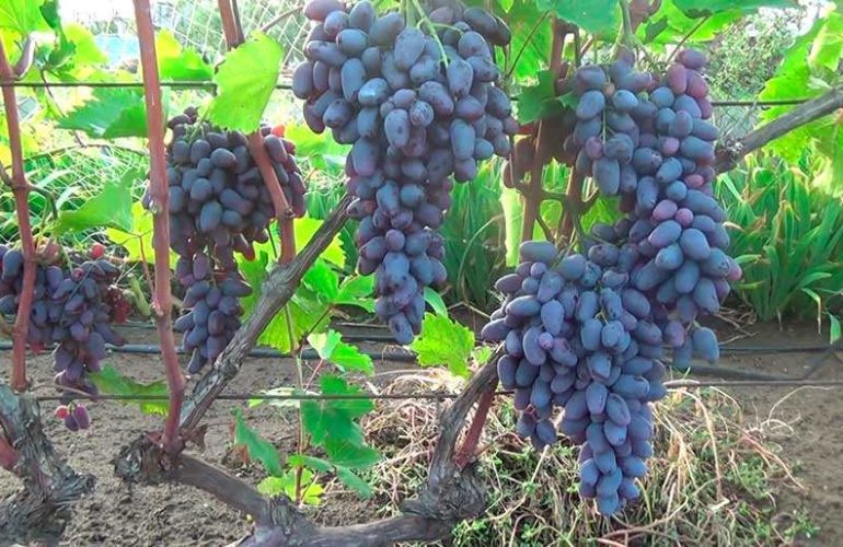 Уход за виноградом Памяти Негруля фото