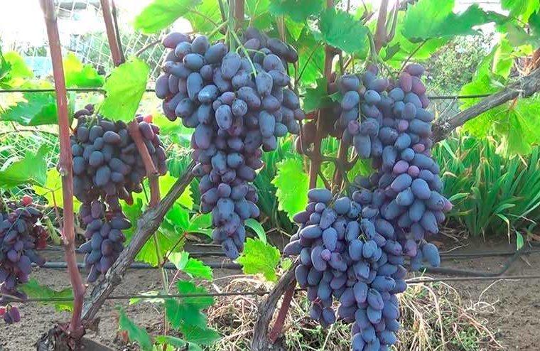 Как ухаживать за виноградом Памяти Негруля фото