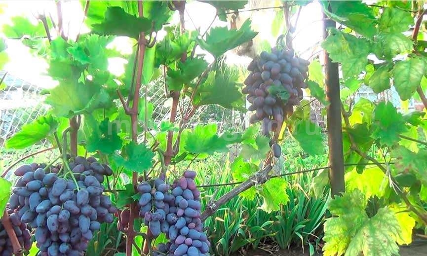 Особенности винограда Памяти Негруля фото