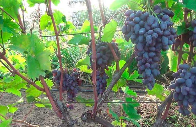 Характеристика винограда Памяти Негруля фото