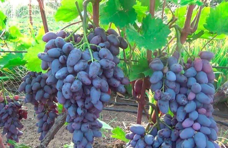 Груна винограда Памяти Негруля фото