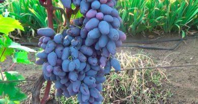 Сорт винограда Памяти Негруля фото